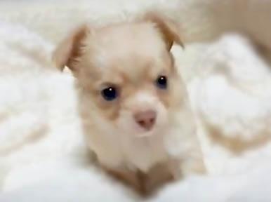 チワワ(ロング)の子犬(ID:1240511036)の4枚目の写真/更新日:2018-04-28