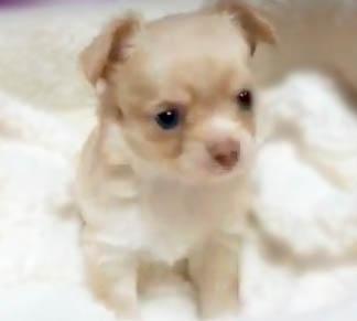 チワワ(ロング)の子犬(ID:1240511036)の5枚目の写真/更新日:2018-04-28