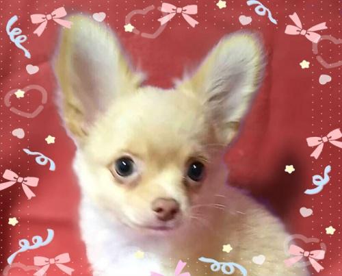 チワワ(ロング)の子犬(ID:1240511037)の1枚目の写真/更新日:2018-07-26