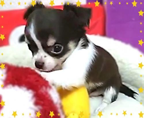 チワワ(ロング)の子犬(ID:1240511038)の1枚目の写真/更新日:2018-06-22