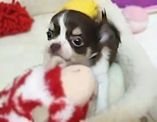 チワワ(ロング)の子犬(ID:1240511038)の3枚目の写真/更新日:2018-06-22