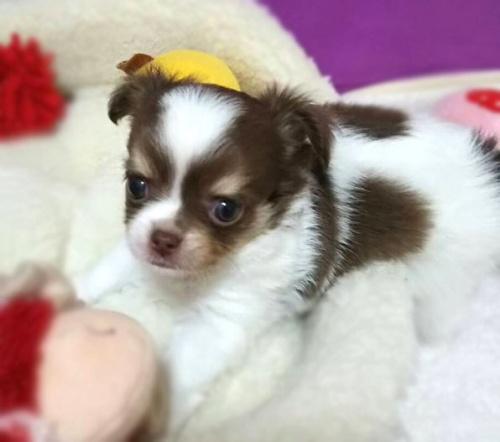 チワワ(ロング)の子犬(ID:1240511039)の8枚目の写真/更新日:2018-06-22