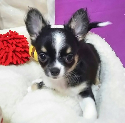 チワワ(ロング)の子犬(ID:1240511040)の1枚目の写真/更新日:2018-06-24