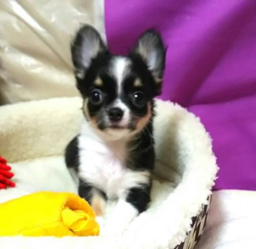 チワワ(ロング)の子犬(ID:1240511040)の3枚目の写真/更新日:2018-06-24