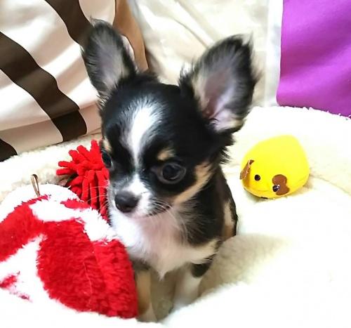 チワワ(ロング)の子犬(ID:1240511040)の4枚目の写真/更新日:2018-06-24