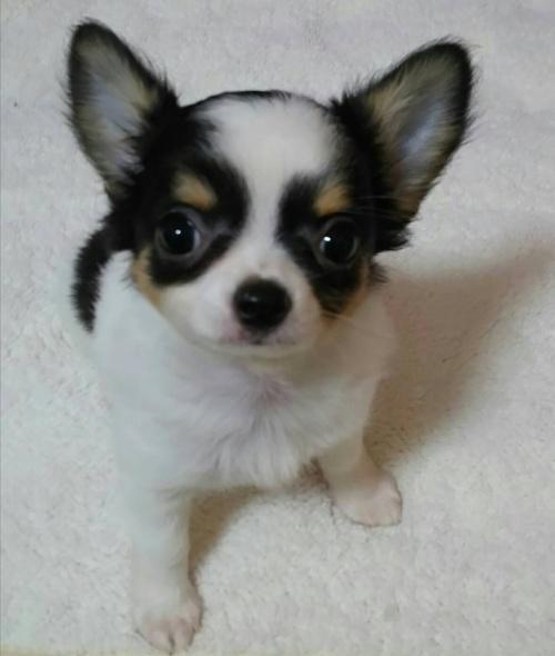チワワ(ロング)の子犬(ID:1240511041)の1枚目の写真/更新日:2018-06-24