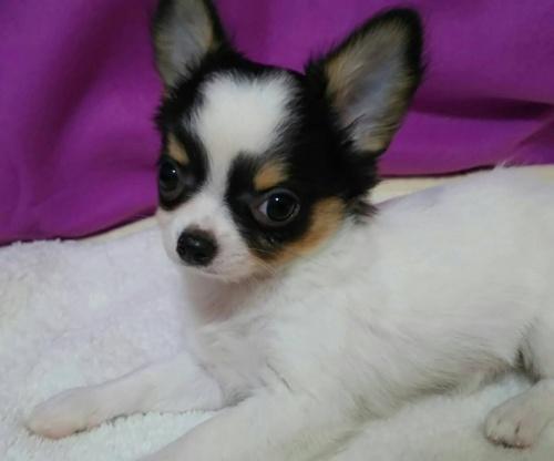 チワワ(ロング)の子犬(ID:1240511041)の4枚目の写真/更新日:2018-06-24