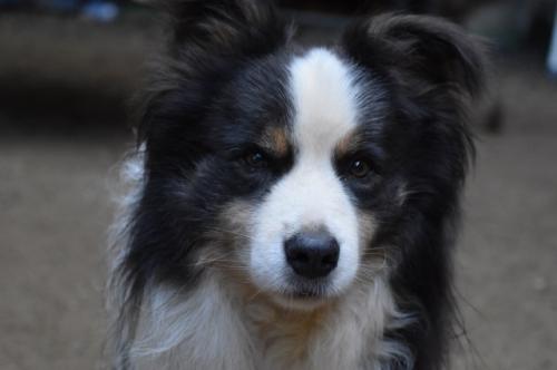ボーダーコリーの子犬(ID:1240911001)の4枚目の写真/更新日:2021-09-28