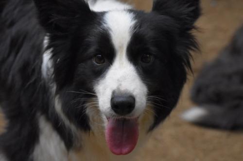 ボーダーコリーの子犬(ID:1240911001)の5枚目の写真/更新日:2021-09-28