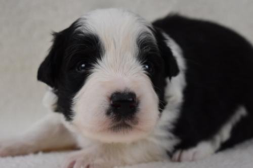ボーダーコリーの子犬(ID:1240911002)の1枚目の写真/更新日:2019-10-13