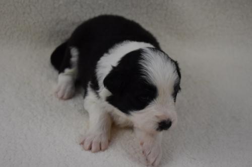 ボーダーコリーの子犬(ID:1240911002)の2枚目の写真/更新日:2019-10-13