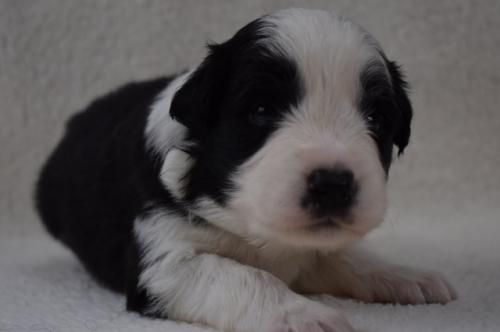 ボーダーコリーの子犬(ID:1240911002)の3枚目の写真/更新日:2019-10-13