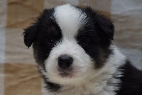 ボーダーコリーの子犬(ID:1240911003)の1枚目の写真/更新日:2019-10-13