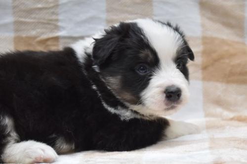 ボーダーコリーの子犬(ID:1240911003)の2枚目の写真/更新日:2019-10-13