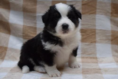 ボーダーコリーの子犬(ID:1240911003)の3枚目の写真/更新日:2019-10-13