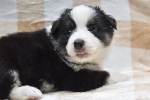 ボーダーコリーの子犬(ID:1240911003)の4枚目の写真/更新日:2021-04-09