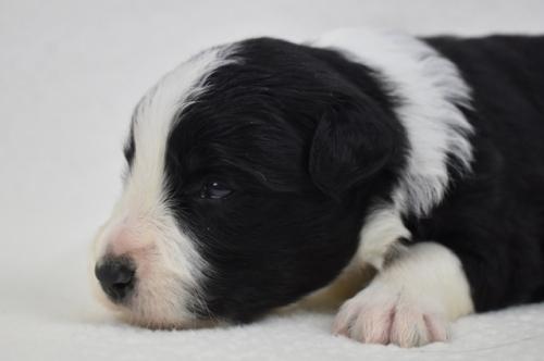 ボーダーコリーの子犬(ID:1240911004)の3枚目の写真/更新日:2019-10-19