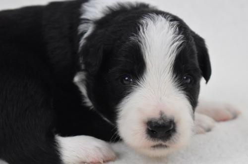 ボーダーコリーの子犬(ID:1240911004)の5枚目の写真/更新日:2021-07-31