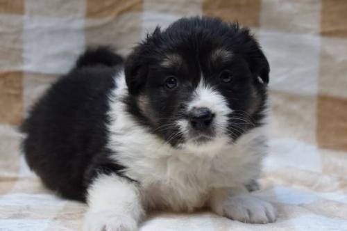 ボーダーコリーの子犬(ID:1240911007)の1枚目の写真/更新日:2020-02-28
