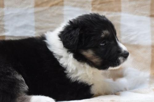 ボーダーコリーの子犬(ID:1240911007)の2枚目の写真/更新日:2020-02-28