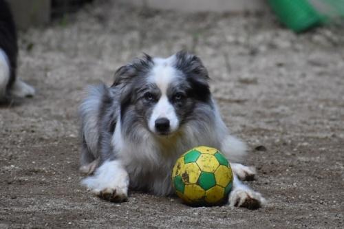 ボーダーコリーの子犬(ID:1240911010)の4枚目の写真/更新日:2021-09-28