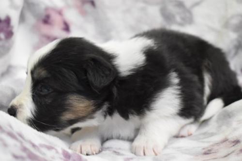 ボーダーコリーの子犬(ID:1240911012)の2枚目の写真/更新日:2020-10-07
