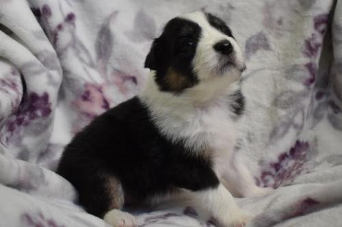 ボーダーコリーの子犬(ID:1240911012)の3枚目の写真/更新日:2020-10-07