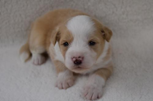 ボーダーコリーの子犬(ID:1240911013)の2枚目の写真/更新日:2021-10-11