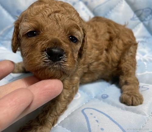 トイプードルの子犬(ID:1241011003)の2枚目の写真/更新日:2021-02-16
