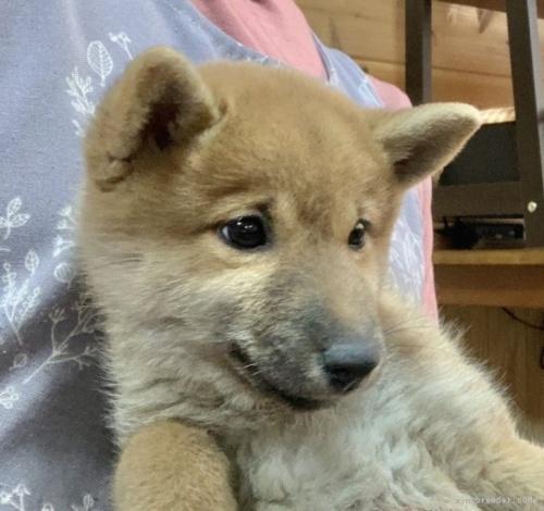 柴犬の子犬(ID:1241011007)の3枚目の写真/更新日:2020-10-04