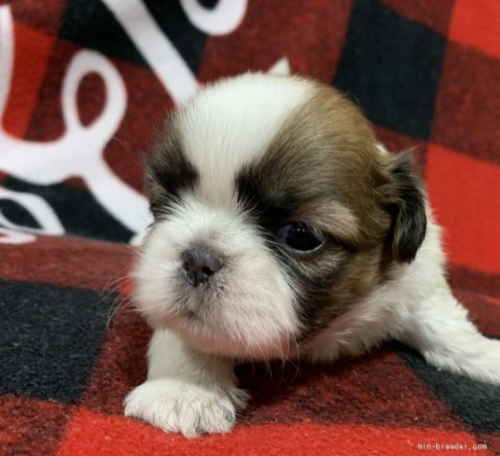 シーズーの子犬(ID:1241011015)の2枚目の写真/更新日:2021-05-01