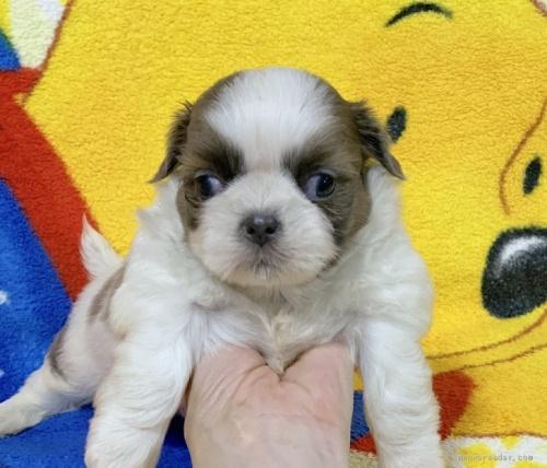 シーズーの子犬(ID:1241011016)の1枚目の写真/更新日:2020-07-05