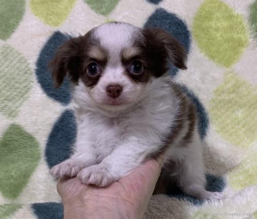 チワワ(ロング)の子犬(ID:1241011023)の1枚目の写真/更新日:2021-02-16