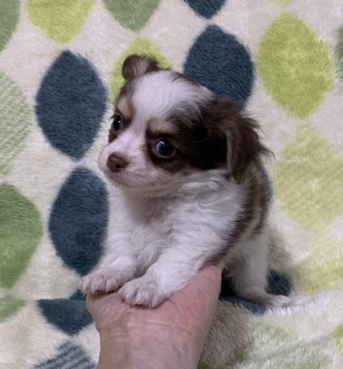 チワワ(ロング)の子犬(ID:1241011023)の2枚目の写真/更新日:2021-02-16