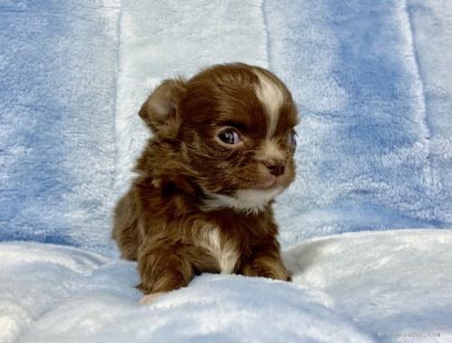 チワワ(ロング)の子犬(ID:1241011025)の1枚目の写真/更新日:2021-02-19