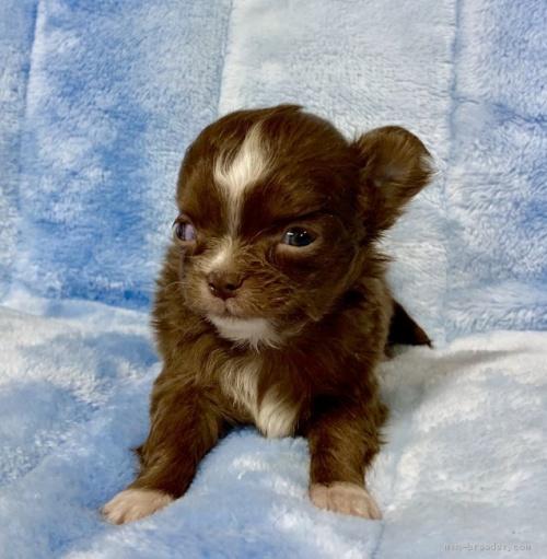チワワ(ロング)の子犬(ID:1241011025)の2枚目の写真/更新日:2021-02-19