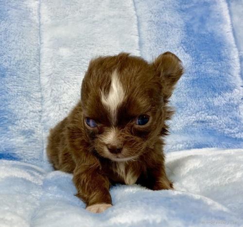 チワワ(ロング)の子犬(ID:1241011025)の3枚目の写真/更新日:2021-02-19