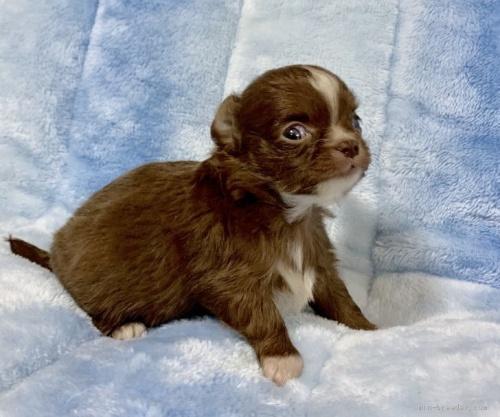 チワワ(ロング)の子犬(ID:1241011025)の4枚目の写真/更新日:2021-02-19