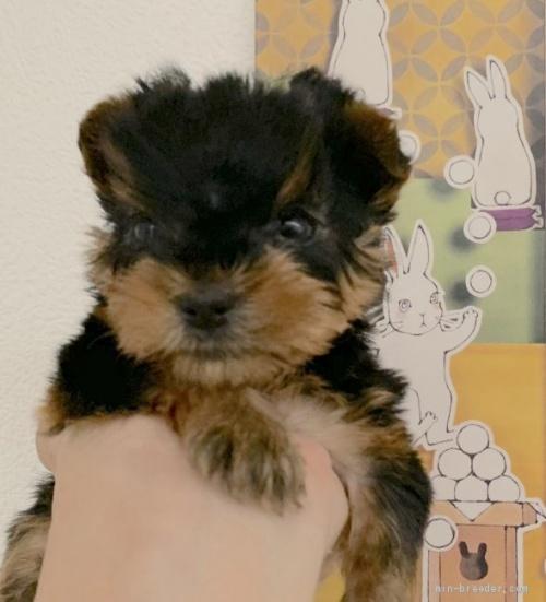 ヨークシャーテリアの子犬(ID:1241011043)の2枚目の写真/更新日:2020-10-04
