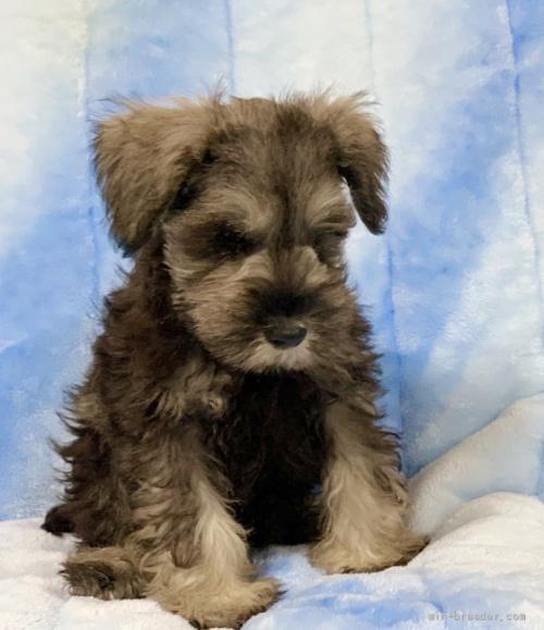 ミニチュアシュナウザーの子犬(ID:1241011046)の1枚目の写真/更新日:2021-07-09