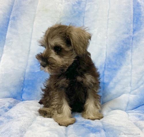 ミニチュアシュナウザーの子犬(ID:1241011046)の2枚目の写真/更新日:2021-07-09
