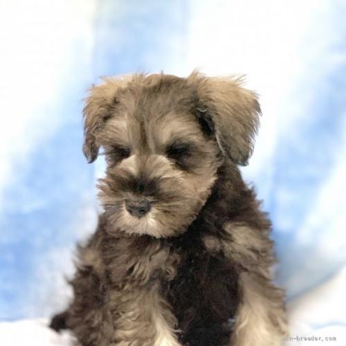 ミニチュアシュナウザーの子犬(ID:1241011046)の3枚目の写真/更新日:2021-07-09