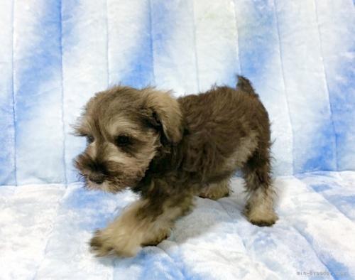 ミニチュアシュナウザーの子犬(ID:1241011046)の4枚目の写真/更新日:2021-07-09