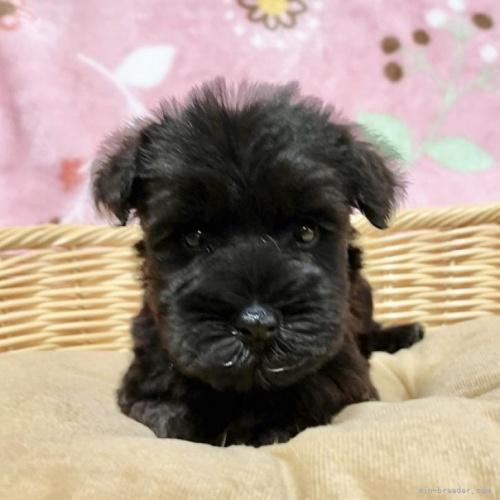 ミニチュアシュナウザーの子犬(ID:1241011047)の1枚目の写真/更新日:2021-09-13