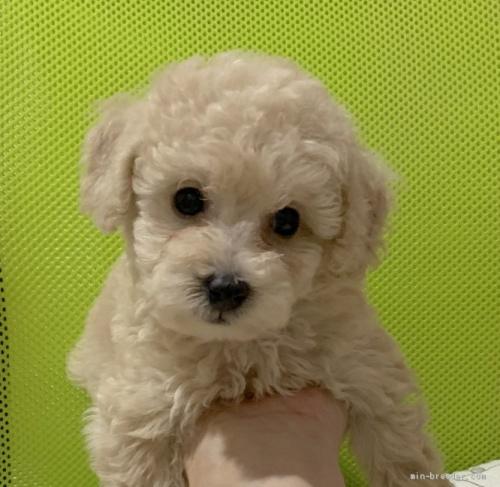 トイプードルの子犬(ID:1241011055)の1枚目の写真/更新日:2020-08-30