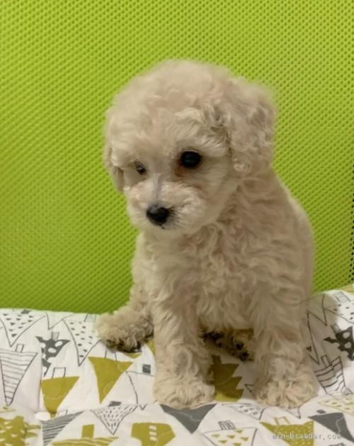 トイプードルの子犬(ID:1241011055)の3枚目の写真/更新日:2020-08-30