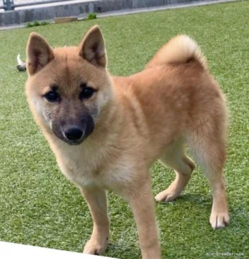 柴犬の子犬(ID:1241011059)の3枚目の写真/更新日:2021-02-19