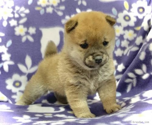 柴犬の子犬(ID:1241011060)の2枚目の写真/更新日:2021-05-03