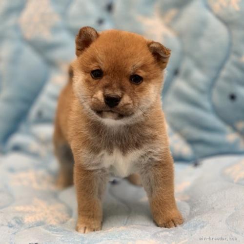 柴犬の子犬(ID:1241011074)の1枚目の写真/更新日:2021-02-07