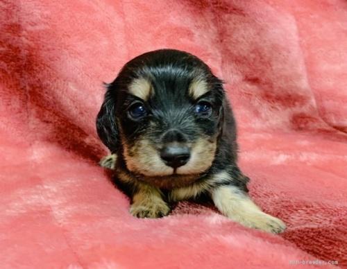 ミニチュアダックスフンド(ロング)の子犬(ID:1241011089)の1枚目の写真/更新日:2020-07-04